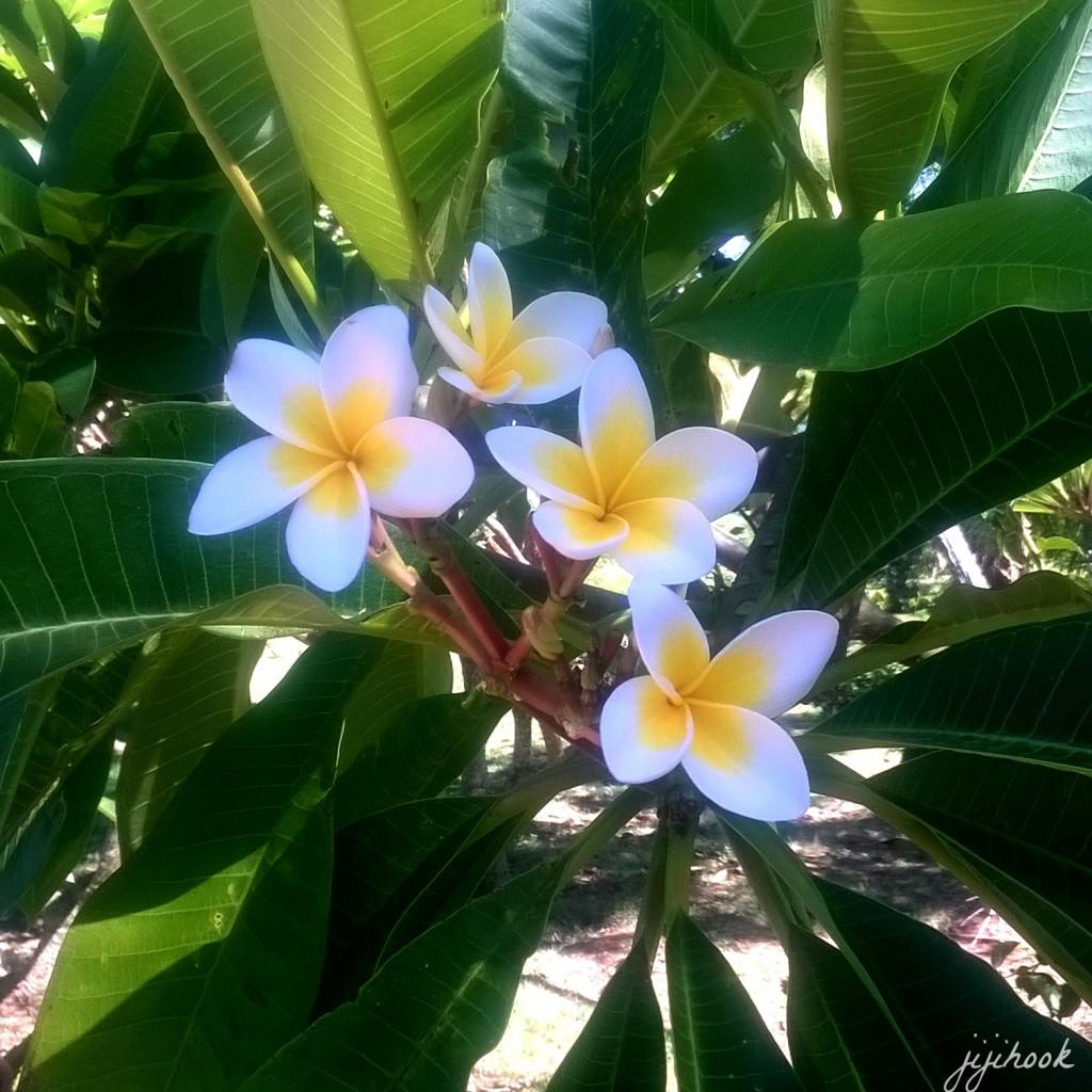 fleurs_de_frangipanier